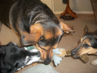Drex, Lizzy, and Baby playing tug-of-war